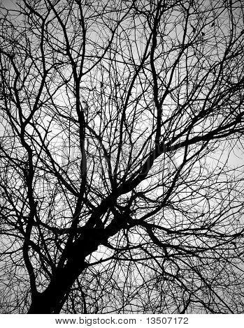 rama de árbol Calvo