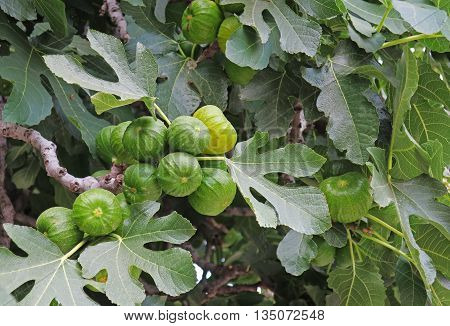 Ripening Green Figs on Leafy Tree in spring