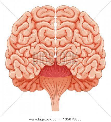 Human brain on white background illustration