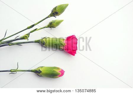 flower buds of pink carnation on white background