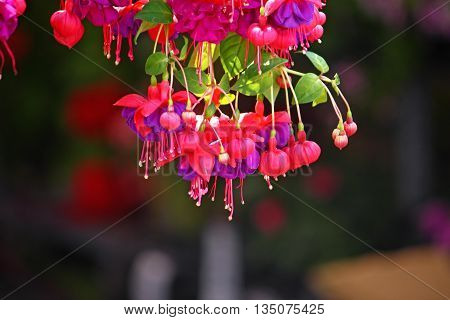 Red flowers of fuchsia on dark background