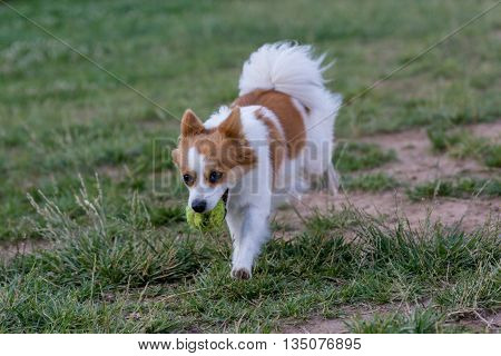 Mini Spitz running with a ball Selective focus