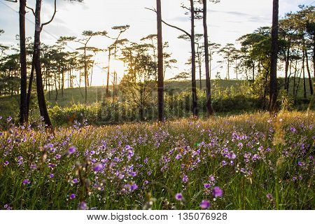 Soft Focus sweet purple flowers and pine tree forest with sunset light on Phu Soi Dao National Park Thailand