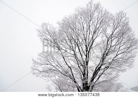 Winter tree leaves beginning to fall out because of the cold and snowy track branches of a tree.