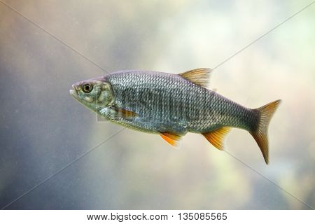 close up on Freshwater fish Common Roach