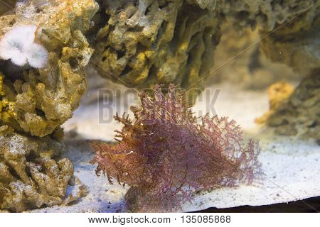 Close Up On Weedy Scorpionfish (rhinopias Frondosa)