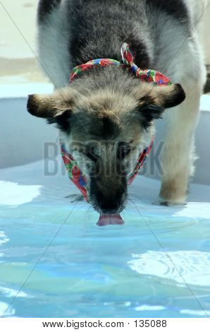 Dog Drinking From Pool