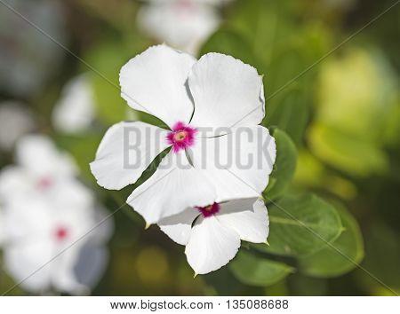 Closeup Of A White Primrose Flower