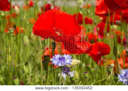 Red poppy flowers and cornflower in the oil seed rape fields