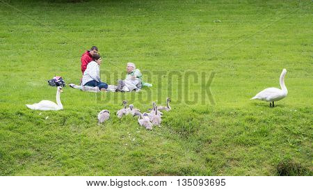 BATH UK - JUNE 19 2016  Family of swans by people having picnic. A pair of mute swans (Cygnus olor) with large cygnets sit by a group of people eating on grass