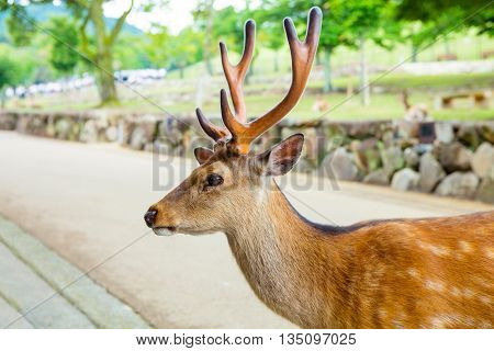 Majestetic deer in Nara park, Japan. Holy animal for japanese religious people.