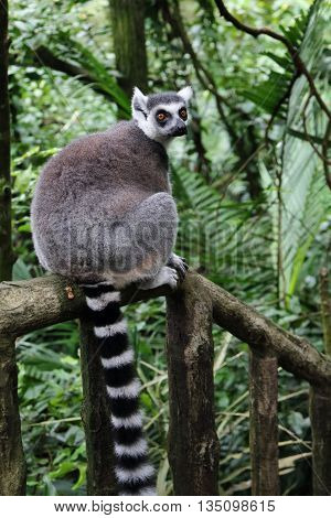 Ring tailed Lemur on a forest trail