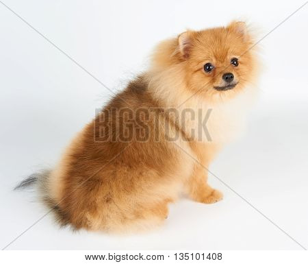 One red Pomeranian spitz sits on white background