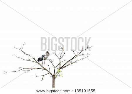 Asian openbill stork bird perched on a tree isolated on white background with copy space