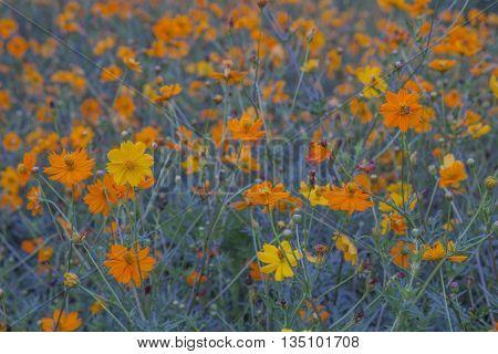 Cosmos bipinnatus, Beautiful yellow cosmos in garden