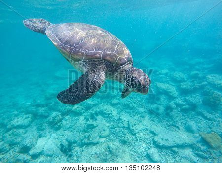 Sea turtle in blue water, olive green turtle in tropical sea. Snorkeling in Philippines.