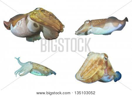 Cuttlefish (Sepia) isolated on white background