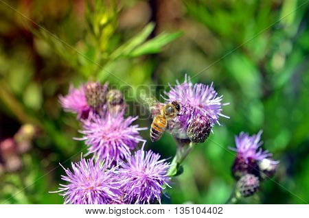 Bee on pink thistle flowers pollinating in summer