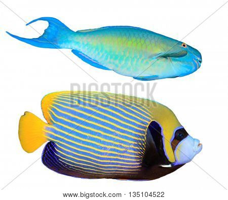 Tropical fish isolated on white background: Parrotfish and Angelfish