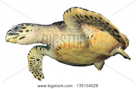 Sea Turtle isolated on white background (Hawksbill)