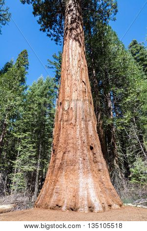 Sequoia Tree in Sequoia National Park California