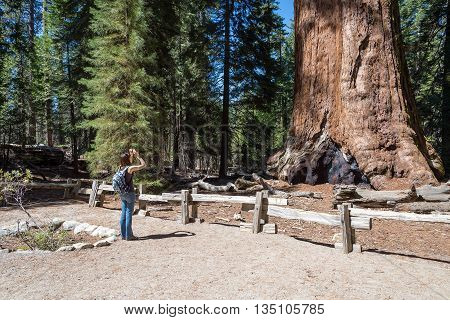 woman takes a picture of giant sequoia tree Sequoia National Forest