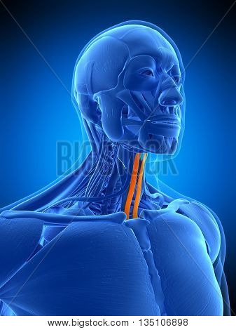 3d rendered, medically accurate illustration of the sternohyoid