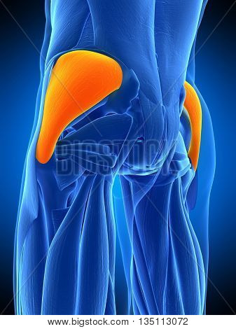 3d rendered, medically accurate illustration of the gluteus medius