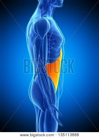 3d rendered, medically accurate illustration of the transversus abdominis