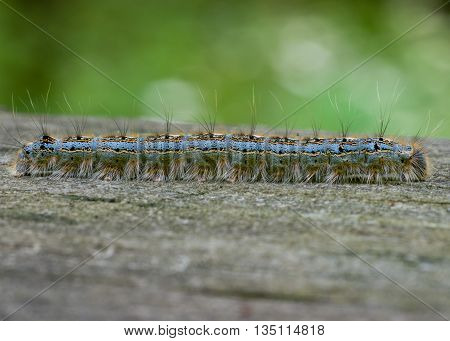 Tent Caterpillar crawling along a wooden plank.