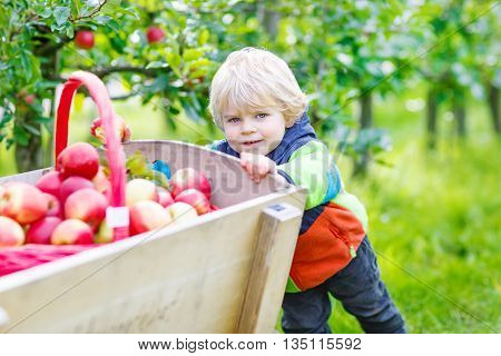 Happy little kid boy with picking and eating red apples on fruit farm, outdoors. Child having fun with gardening and harvesting. Lifestyle, organic food, childhood concept.