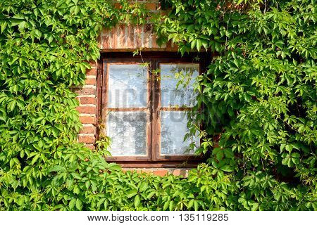 old window and green creepers on the wall