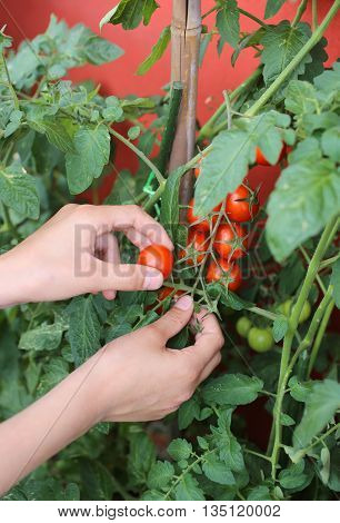 child hand harvesting red tomatoes from an urban garden on the balcony of the house