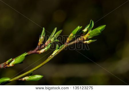 Twigs With Green Buds