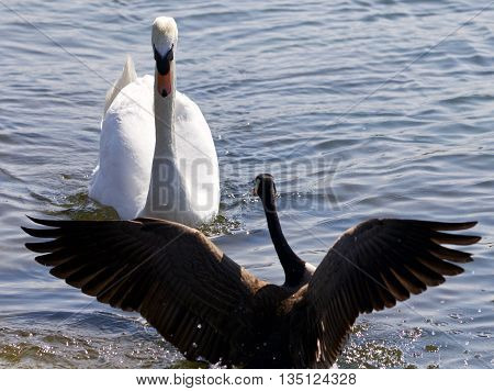 Beautiful isolated photo of the Canada goose defending his family from the swan
