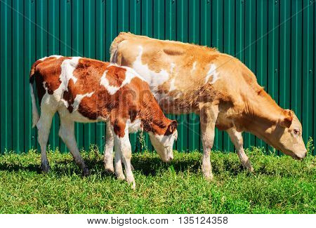 Two young brown calves grazing at fence background