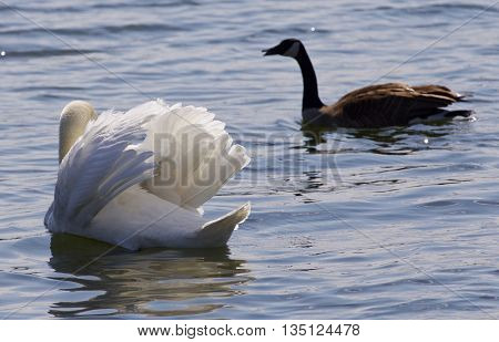 Beautiful isolated image of the contest between the swan and the Canada goose
