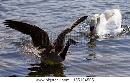 Beautiful isolated picture with the Canada goose running away from the angry mute swan