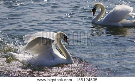 Beautiful isolated photo of two strong swans