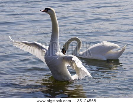 Beautiful photo of the swan with the opened wings