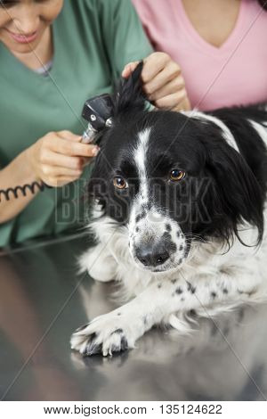 Border Collie's Ear Being Examined By Female Vet