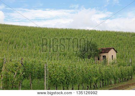 Vineyard in Barolo in Piedmont, Italy, Europe
