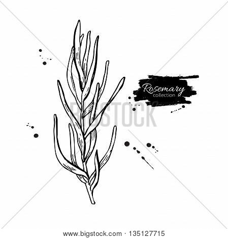 Rosemary vector drawing. Isolated Rosemary plant with leaves. Herbal engraved style illustration. Detailed organic product sketch. Cooking spicy ingredient