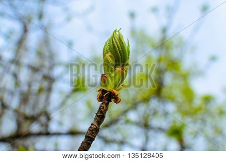 young sprout bud chestnut tree spring photo