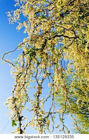 Crown Tree In Bloom
