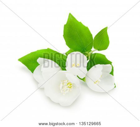 Sprig of fresh white jasmine with green leaves isolated on white background. Design element for product label, catalog print, web use.
