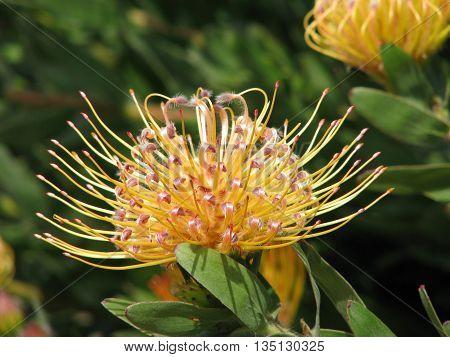 Protea, From Kirstenbosch Botanical Gardens, Cape Town South Africa 80