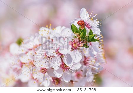 Ladybug on the Flowering Plum (Shallow DoF)