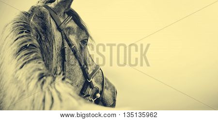 Portrait of a sports stallion in a bridle.