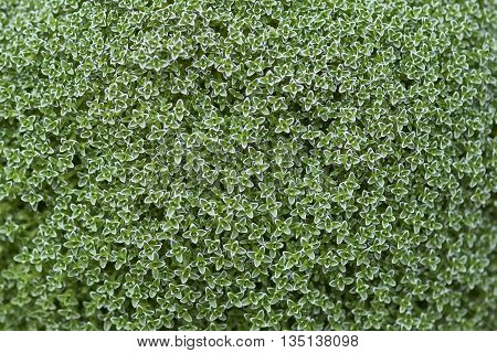 Repeating pattern in nature of a beautiful green hedge shrub